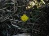 Narcissus asturiensis en la Porra de Enol