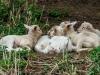 ovejas reunidas
